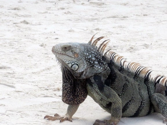 Iguanas on the beach at Renaissance Island