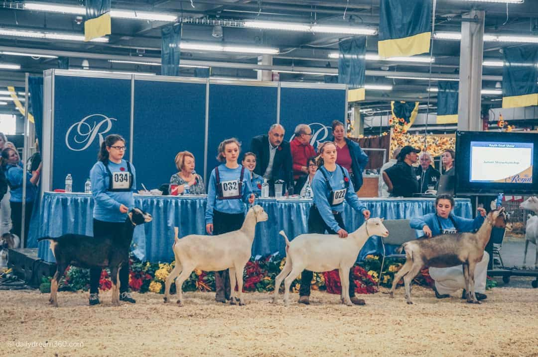 Youth entrants at an animal competition steady their goats in lineup to be judged at The Royal Agricultural Winter Fair in Toronto