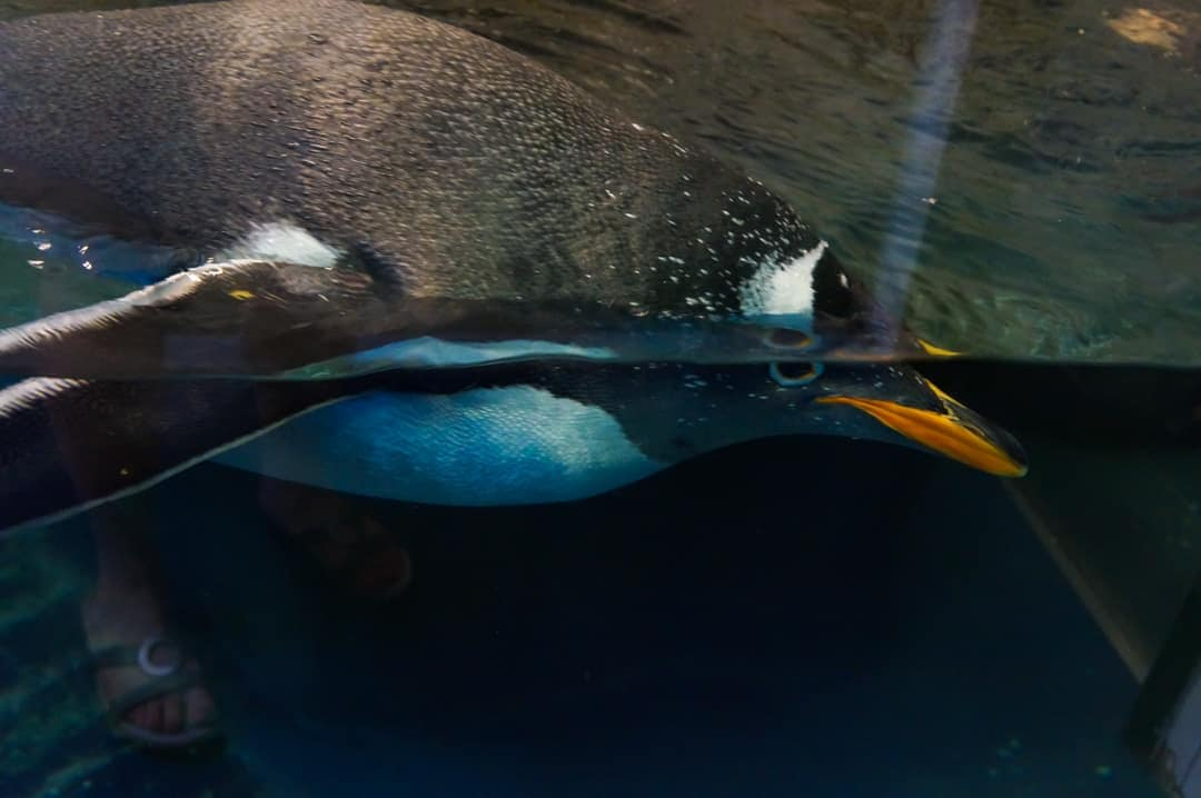 Swimming Penguins come to say Hi!