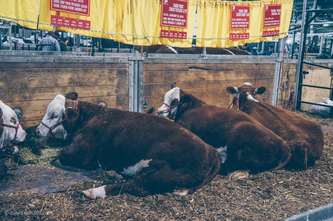 Cows in the Barn at The Royal Agricultural Winter Fair in Toronto
