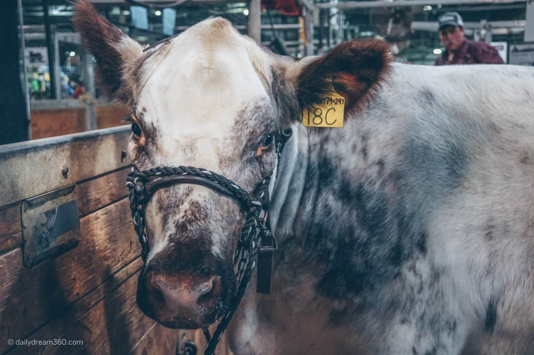 Coming face to face with a large white cow at The Royal Agricultural Winter Fair in Toronto