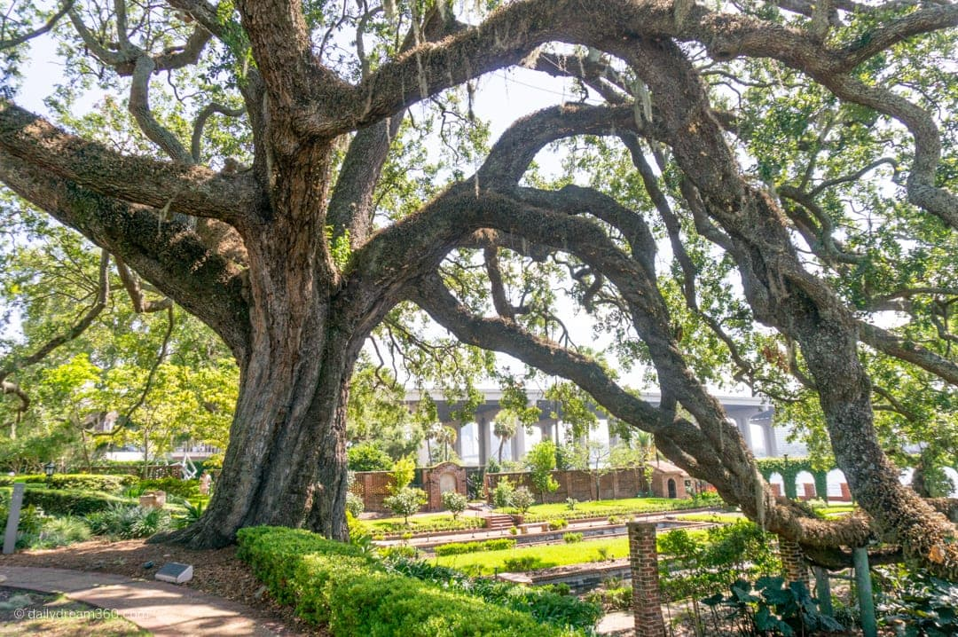 Historic Oak Tree at the Cummer Museum Jacksonville Florida