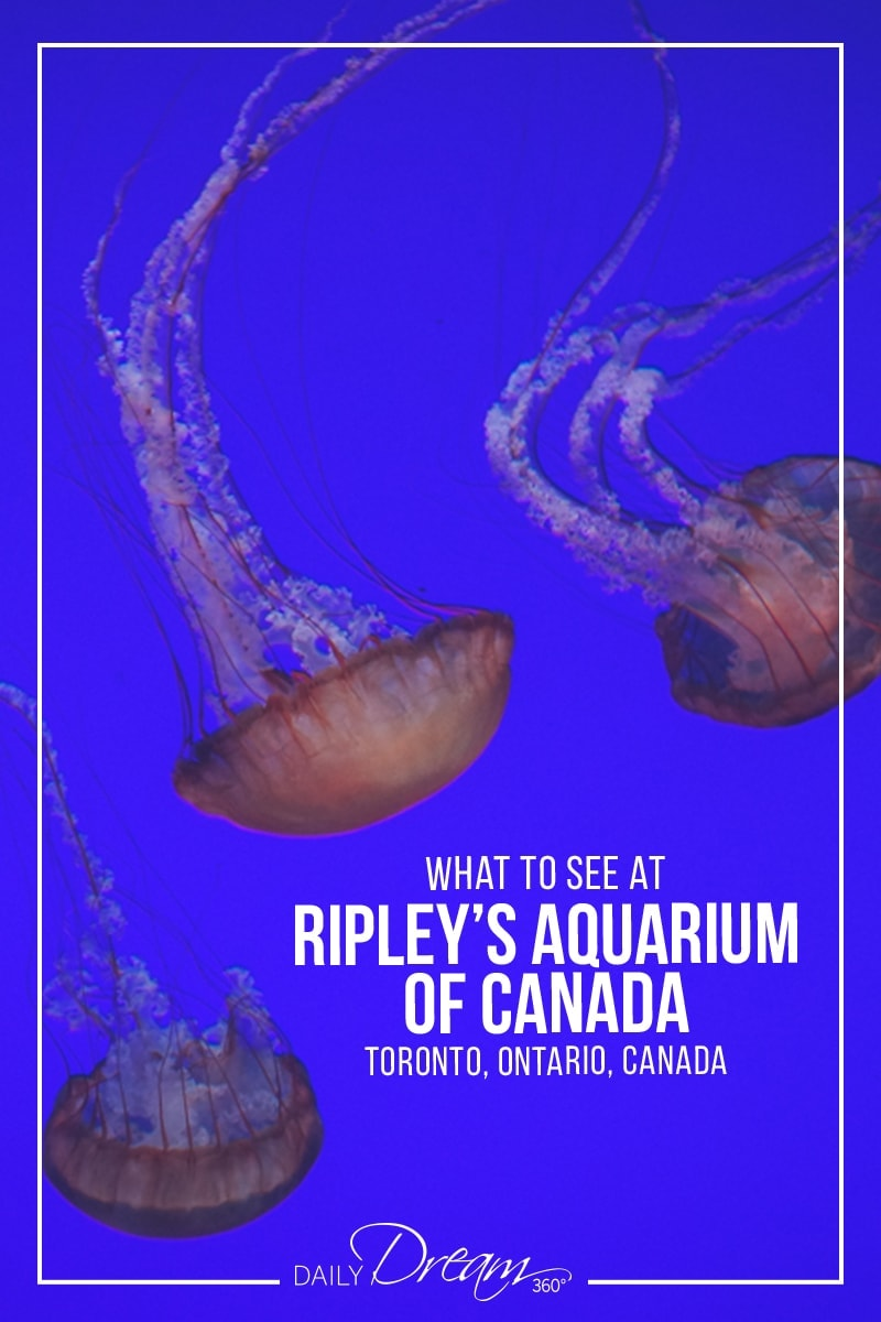 In this post we share tips on what to see at Ripley\'s Aquarium of Canada a popular attraction in downtown Toronto for those seeking to enjoy the underwater world. | #Toronto #Ripleys #Aquarium #Attraction #downtown #RipleysAquarium #Canada |