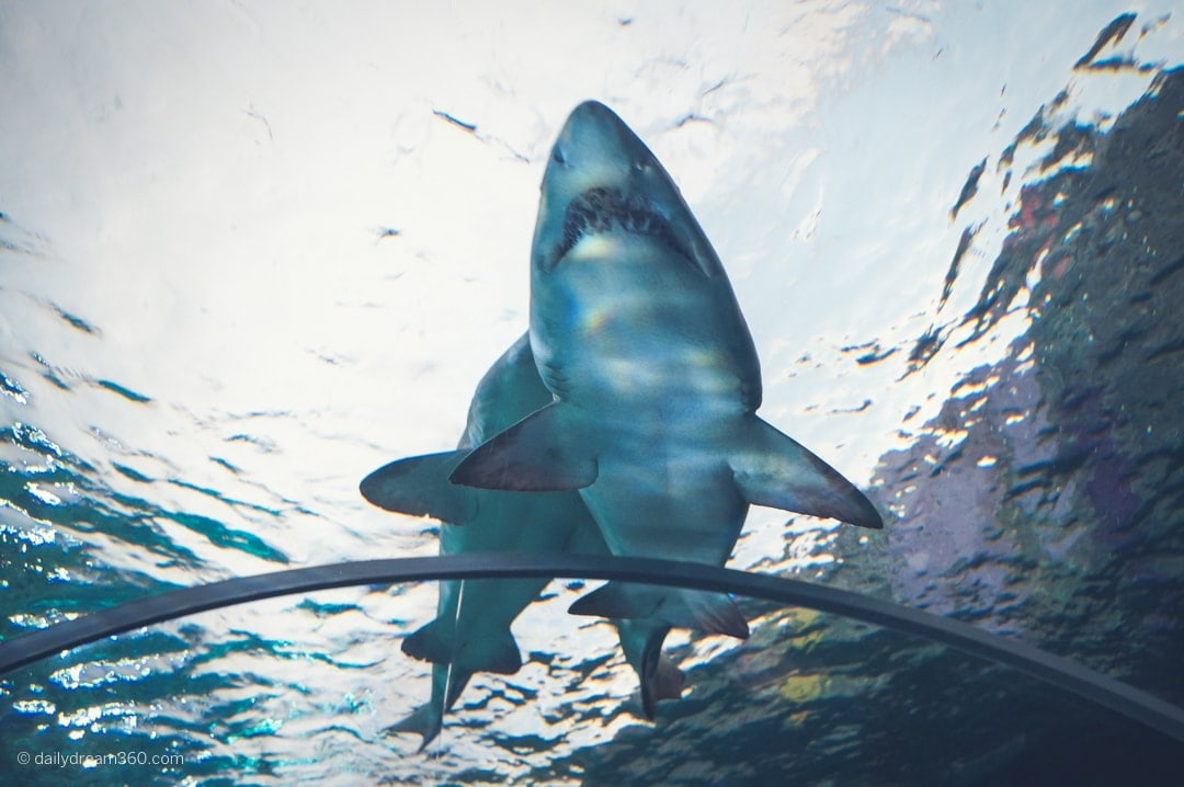 Sharks swimming above in Dangerous Lagoon tunnel at Ripley's Toronto
