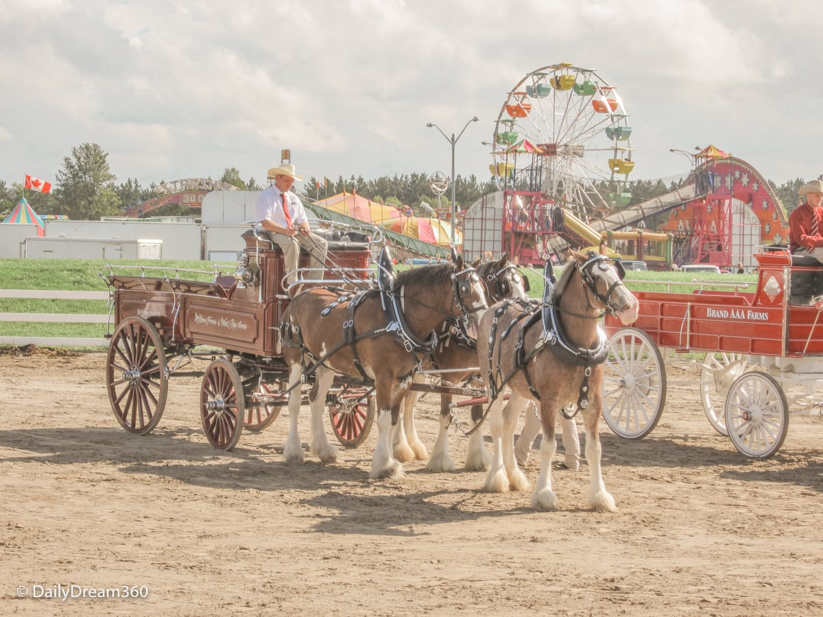 Equestrian traditions on display with midway in background at Orangefville Fall Fair