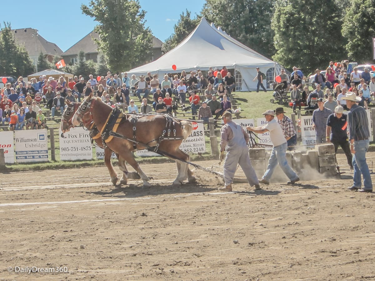 Horse Pull competition at Uxbridge Fall Fair