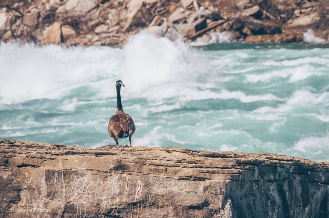Canada Goose sitting on rock overlooking White Water Walk