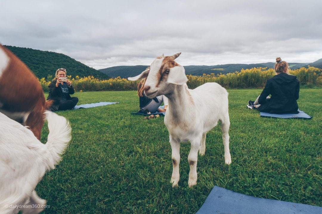 Goat looks on during yoga class